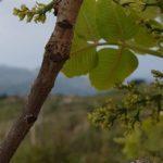 Pistacchio di Raffadali e della Valle del Platani